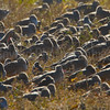 Roosting shorebirds