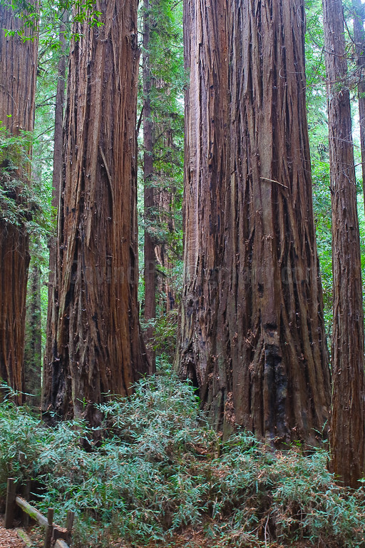 Redwood Pine Trees