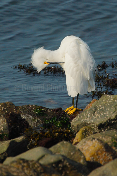 Preening Snowy Egret