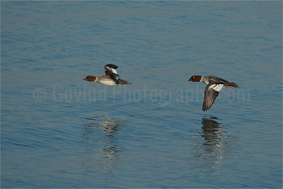 Common Goldeneyes in Fligh