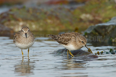 Feeding Western Sandpipers
