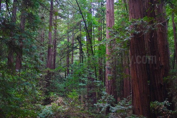 Redwood Pine Forest