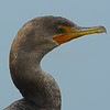 Double-Crested Cormorant Profile