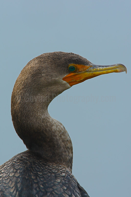 Double-Crested Cormorant Profile