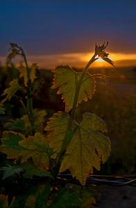 Rancho Seco Grapes
