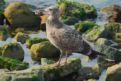 Juvenile Western Gull with Crab
