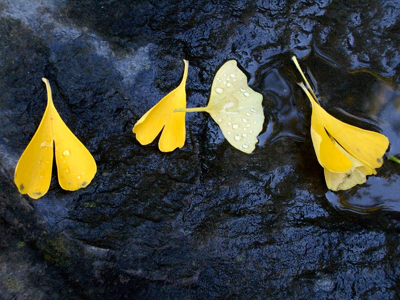 Gingko Leaves, Shinn Historic House, Fremont, CA