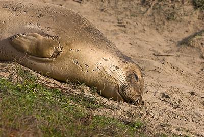 Elephant Seal, Ano Nuevo State Reserve, CA