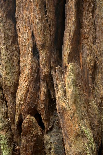 Redwood bark, Muir Woods National Monument, California