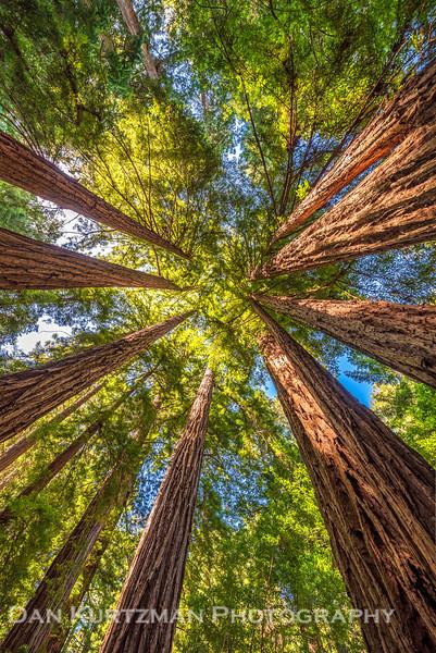 Muir Woods Redwood Canopy