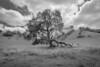 Oak, Diablo Foothills