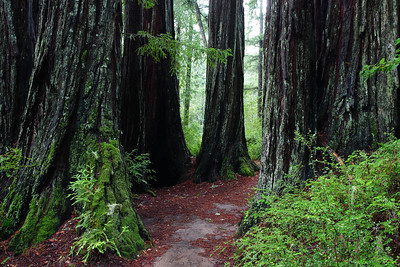 Redwoods and Fern Big Basin Redwoods State Park California