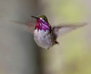 Calliope Hummingbird in flight, hovering, Grand Teton National Park.