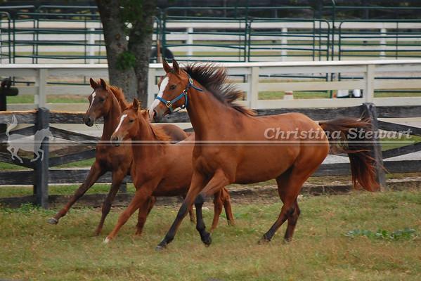 2013 Arabian Foals