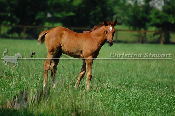 2014 Arabian Foals