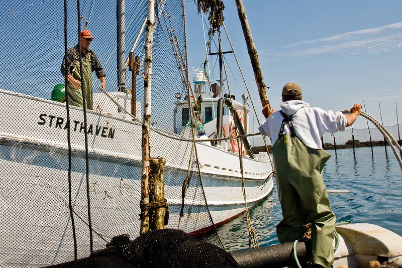 Fishing herring in the Bay of Fundy
