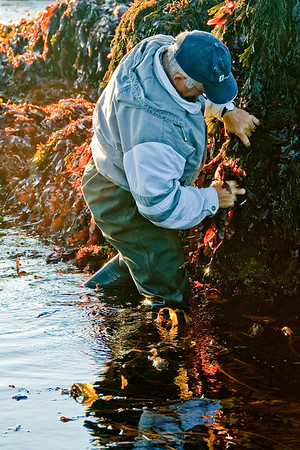 Harvesting Dulse In The Bay Of Fundy