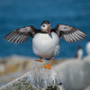 The Happy Puffin