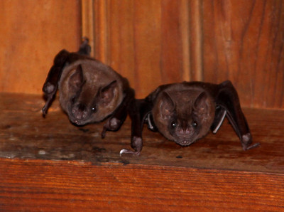 brown bats, Roatan - Honduras