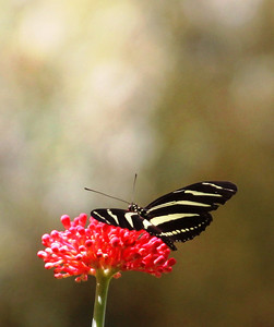 Zebra Longwing Butterfly, Roatan, Honduras