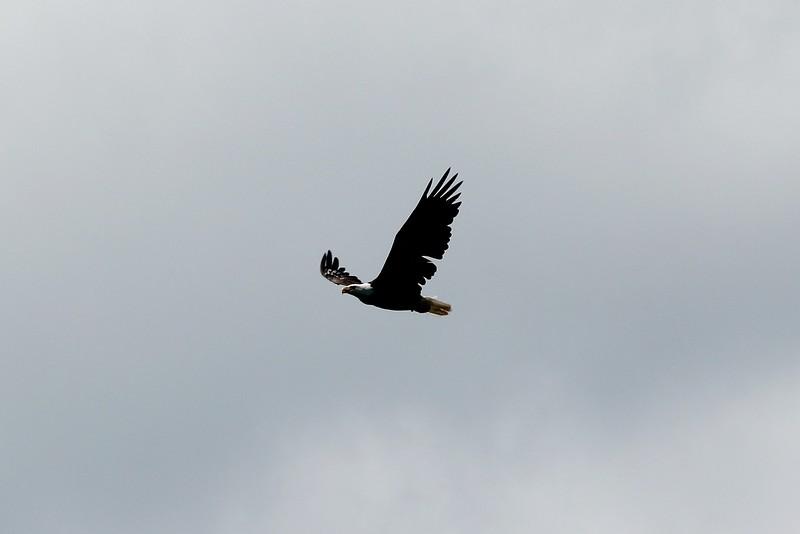 Bayfield Eagle