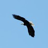 Bayfield Eagle