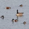Norther Shovelers and a Canada Goose