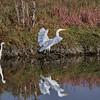 Great Egret (flying away), Snowy Egret (black beak)