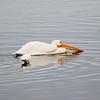 White pelican (Pelicanos Blanco)
