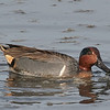 Green winged teal, male