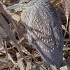 Black crowned night heron, female
