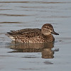 Green winged teal, female