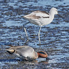 Green winged teal (front), American Avocet