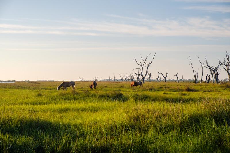 Wild horses in Point-Aux-Chenes (Oak Point), Louisiana