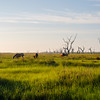 Wild horses in Point-Aux-Chenes (Oak Point), Louisiana