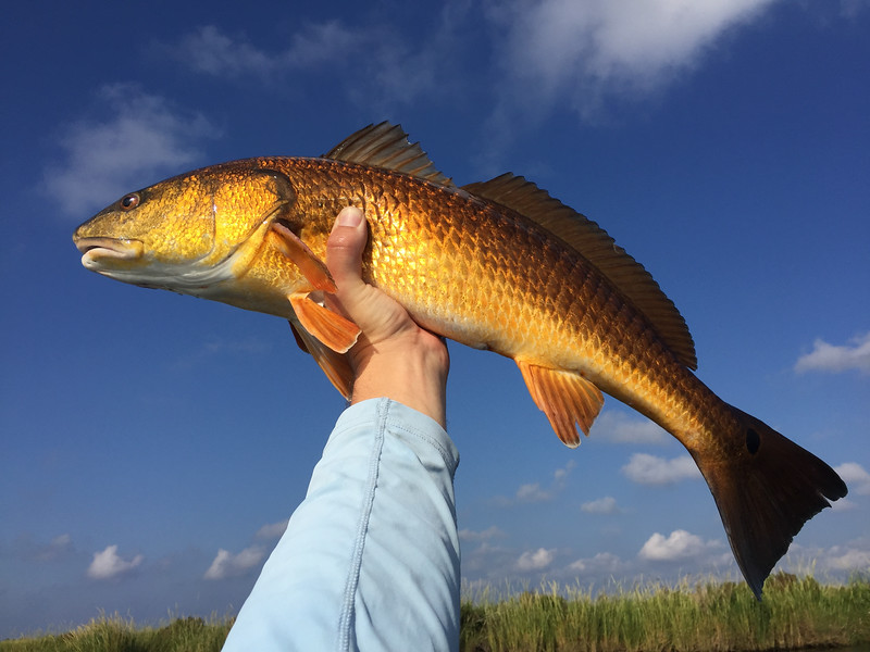 Beautiful golden Louisiana redfish
