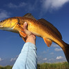 Beautiful golden Louisiana redfish