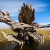 Oak tree felled by saltwater intrusion, Point-Aux-Chenes (Oak Point), Louisiana.