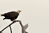 "For more Bald Eagles of Baytown click here:  <a href=""http://aubreyc.smugmug.com/Baytown-Bald-Eagles"">http://aubreyc.smugmug.com/Baytown-Bald-Eagles</a> for more or Click on Baytown Bald Eagles Above]"