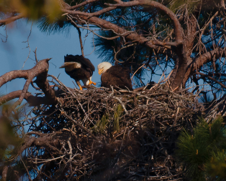 Male has disengaged talons from fish and is depositing it into the nest for the female who is refusing to leave the nest this soon after hatchling have hatched.