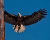 Male Eagle has swooped down from its nest and is now beginning the flapping sequence of alighting onto his favorite perch.