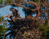 Notice the unfinished appearance of the upper rim portion of the nest, and time for egg laying is here; about 5 days after mating and last observed mating was 9 days ago.