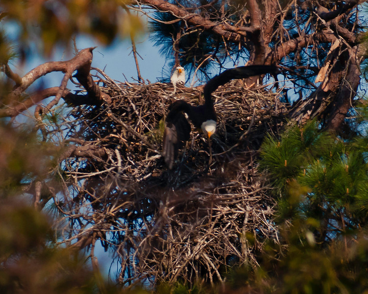 Male is flying from nest to perch close to road.  Notice that the nest proper is only about 3.5 feet high sitting atop about 12 feet of supporting branches.  Friends range-finder indicated the distance to be 170 yards and this is approximately a 3% crop of the full frame.
