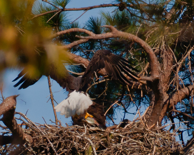 Male bringing fish to female sitting on young hatchlings.  She refuses to leave nest.