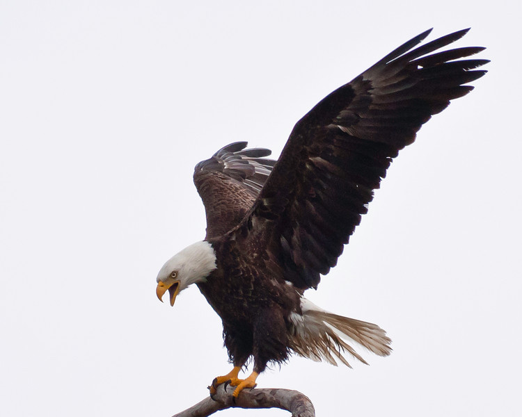 Adult male Bald Eagle perched on favorite spot across from golf course on an overcast and rainly day, 020510..