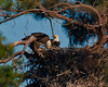 Nest building.  The female Bald Eagle in front is working on lacing a branch into the partially completed nest.  The date of this activity is 012510 and the last mating activity was reported to be 011610.