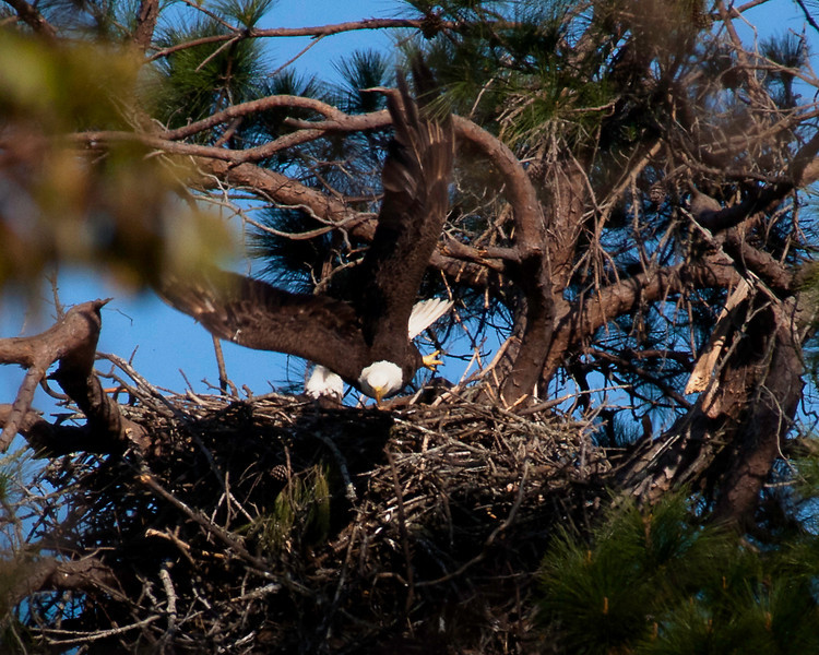 Female Bald Eagle flying from nest.
