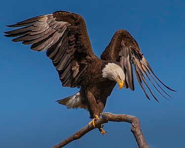 Baytown Bald Eagles