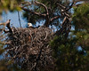 This nest is close to 10 feet in diameter and from the beginning of the base support branches to the top must be about 12 feet.   031510.
