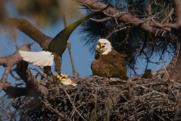 Baytown Eagles - Bringing in Fish  on 030610